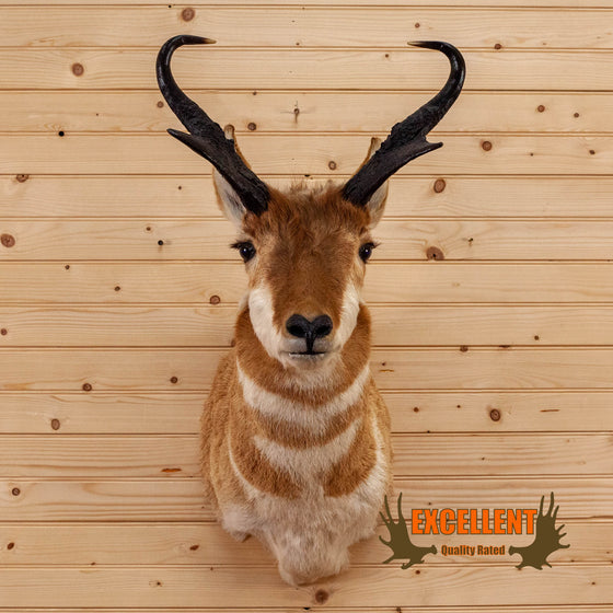 Excellent Pronghorn Antelope Taxidermy Shoulder Mount SW10516
