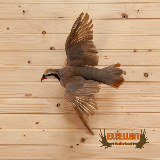 chukar in flight taxidermy mount for sale
