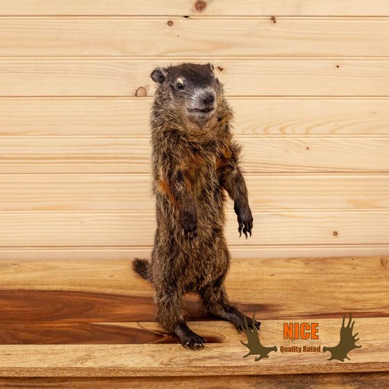 woodchuck groundhog full body taxidermy mount for sale safariworks decor