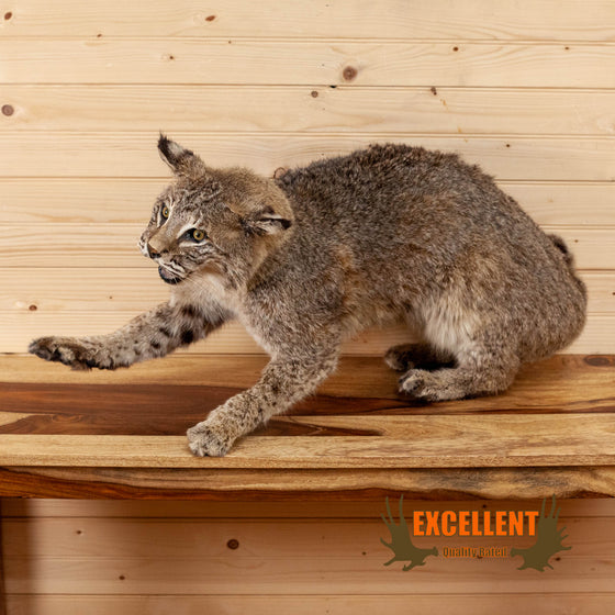 full body bobcat taxidermy mount for sale