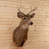 Excellent 6 Point Whitetail Buck Deer Taxidermy Shoulder Mount SW10525