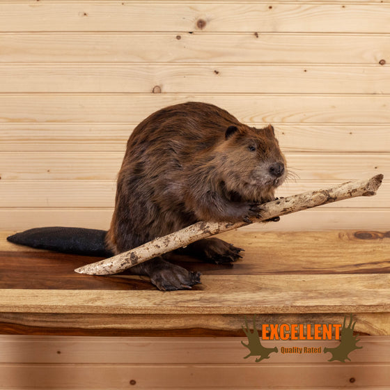 full body beaver taxidermy mount for sale