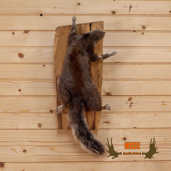climbing squirrel taxidermy mount for sale