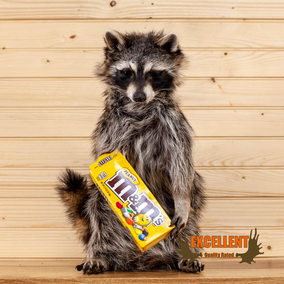 candy raccoon peanut M&M taxidermy mount for sale