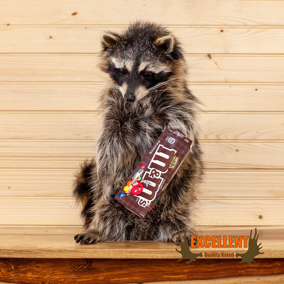 candy raccoon M&M taxidermy mount for sale