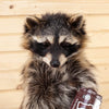 Excellent Full Body Raccoon with Candy M&M's Taxidermy Mount SW10558