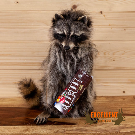 novelty raccoon full body taxidermy mount eating M&Ms for sale