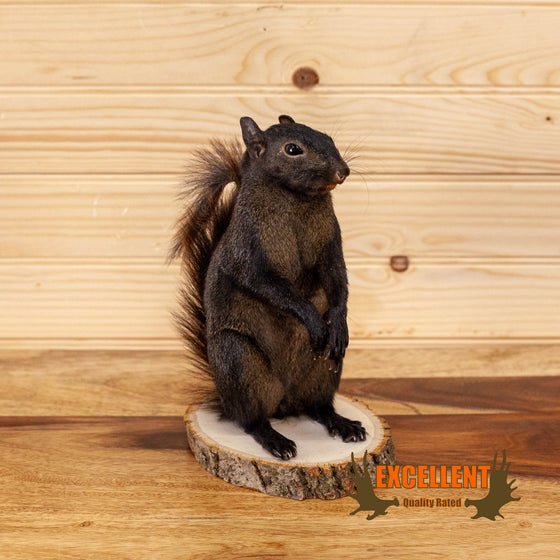 black squirrel full body taxidermy mount for sale