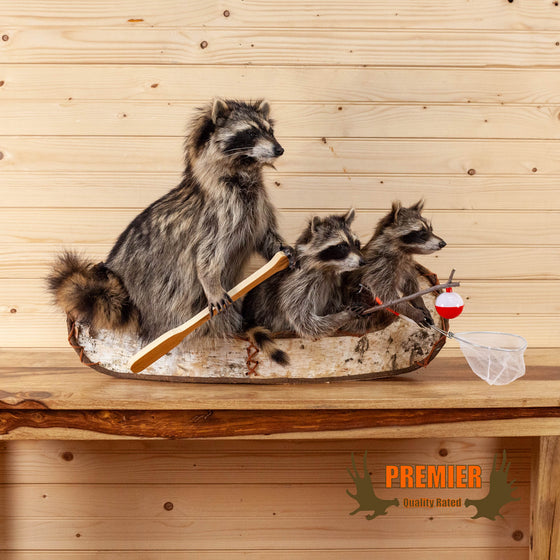 adult raccoon two kits in canoe fishing taxidermy mount for sale