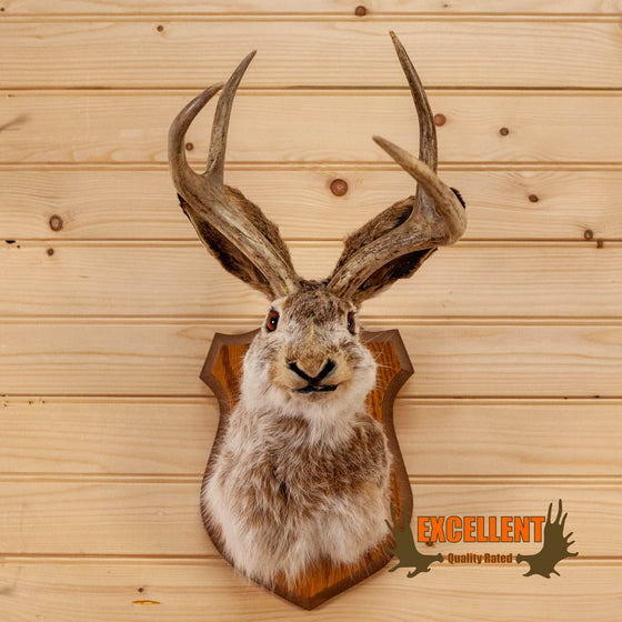 jackalope taxidermy shoulder mount for sale