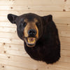 Premier Black Bear Taxidermy Shoulder Mount - SW10574