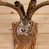 Excellent Jackalope with Whitetail Deer Antlers Taxidermy Shoulder Mount SW10578