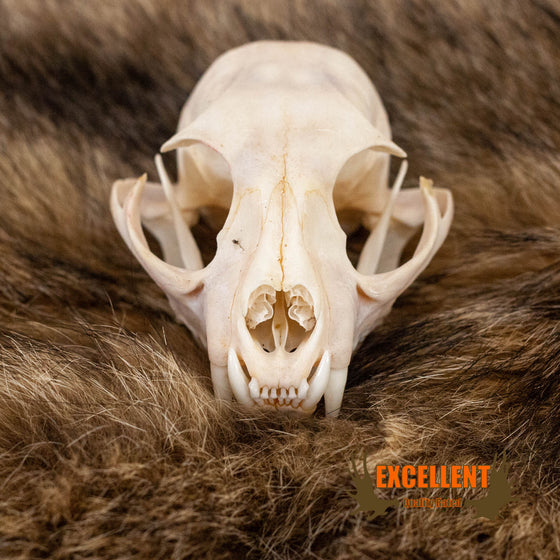 bobcat skull for sale