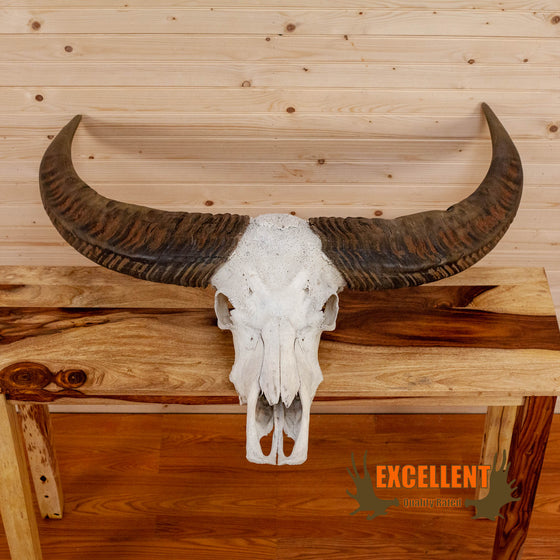 asian water buffalo skull with horns for sale