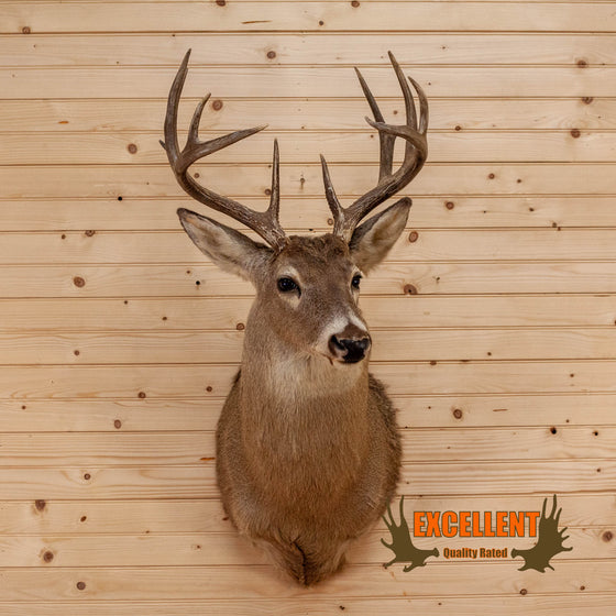 10 point whitetail deer buck taxidermy shoulder mount for sale