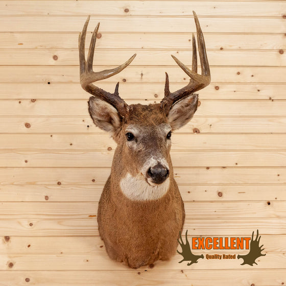 11 point whitetail deer buck taxidermy shoulder mount for sale