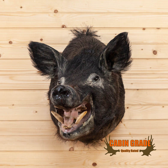 wild hog boar taxidermy head shoulder mount for sale