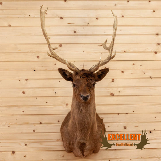 chocolate fallow deer taxidermy shoulder mount for sale