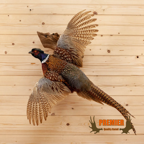 ringneck pheasant in flight flying taxidermy mount for sale