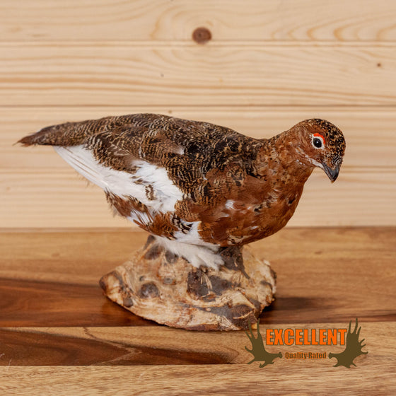 Excellent Perched Ptarmigan in Fall Plumage Taxidermy Mount SW10606