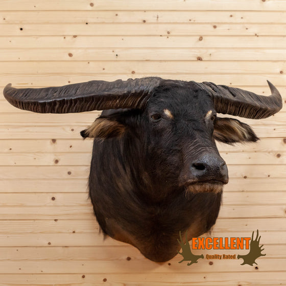 asian water buffalo taxidermy shoulder mount for sale
