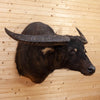 Excellent Asian Water Buffalo Taxidermy Shoulder Mount SW10613