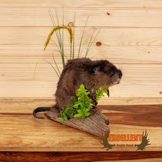 full body lifesize muskrat taxidermy mount for sale