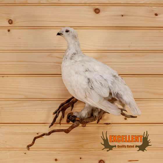 ptarmigan winter plumage taxidermy mount for sale