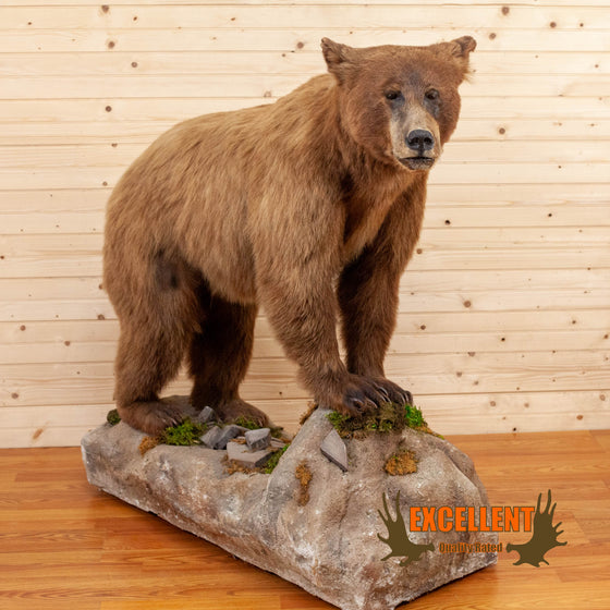 Excellent Cinnamon Phase Full Body Black Bear Mount SW10620