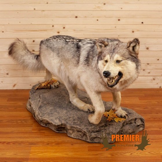full body lifesize wolf taxidermy mount for sale