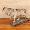 Premier Gray Wolf Full Body Lifesize Taxidermy Mount SW10622