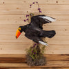 Premier Toco Toucan Taxidermy Reproduction SW10628