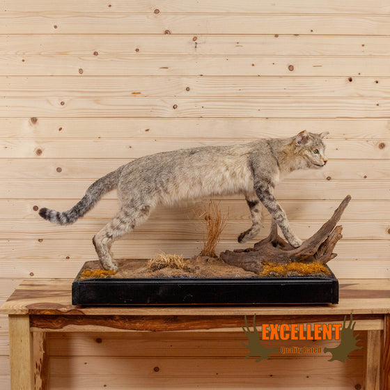 african wildcat lifesize full body taxidermy mount for sale