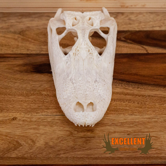 alligator skull for sale
