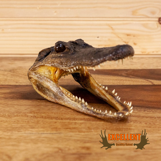 taxidermy juvenile alligator head for sale