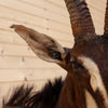 Premier African Sable Antelope Taxidermy Mount SW10669