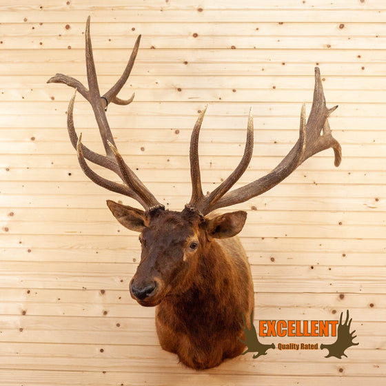 14 point elk taxidermy shoulder mount for sale