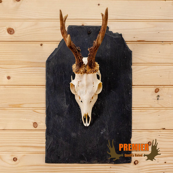 roe deer skull antlers european mount on slate plaque for sale