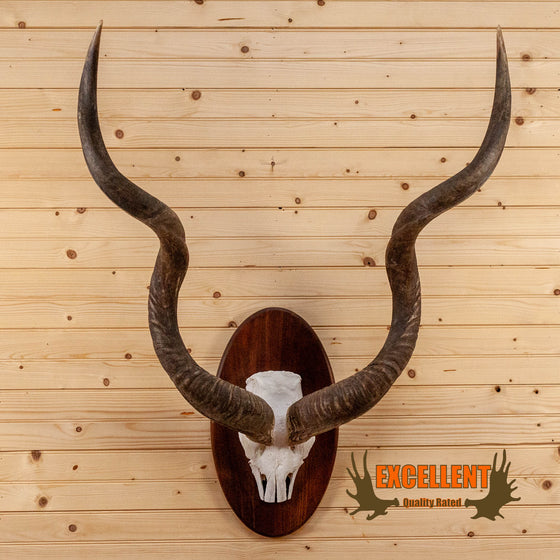 african greater kudu skull horns european mount for sale
