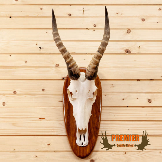 african blesbok skull horns european mount for sale