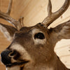 Excellent 4X6 Whitetail Buck Deer Taxidermy Shoulder Mount SW10704