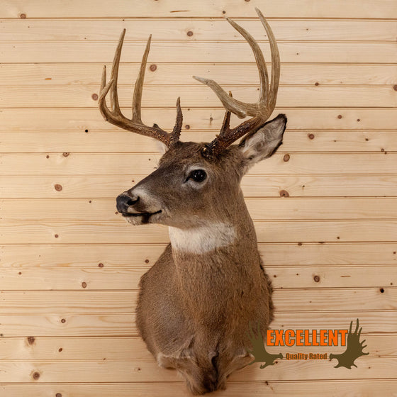 Excellent 4X5 9 Point Whitetail Buck Deer Taxidermy Shoulder Mount SW10707