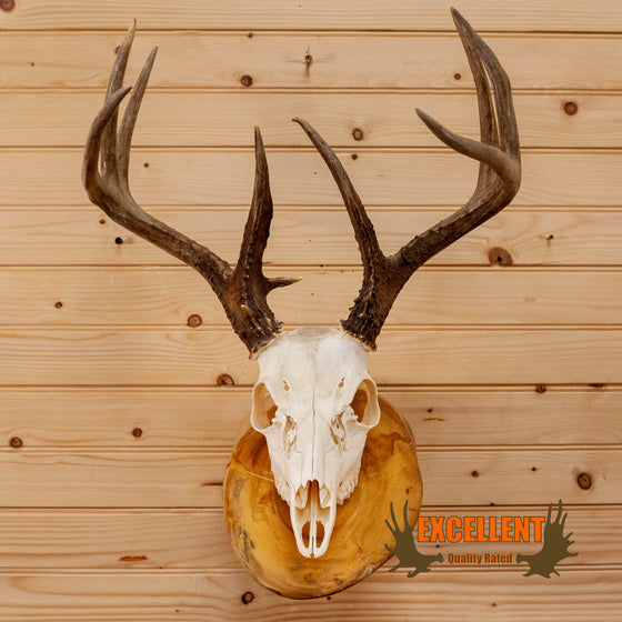 whitetail deer buck skull antlers european mount on log for sale