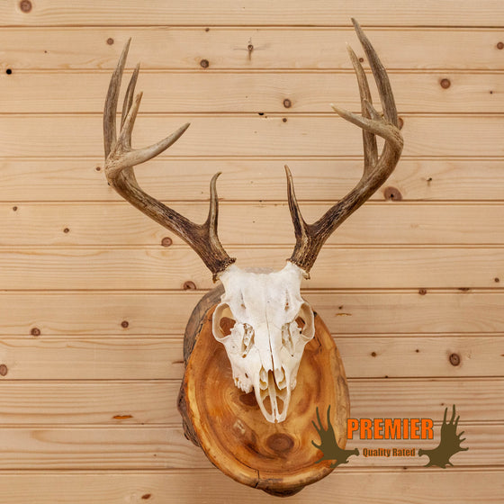 whitetail deer buck skull antlers european mount log for sale