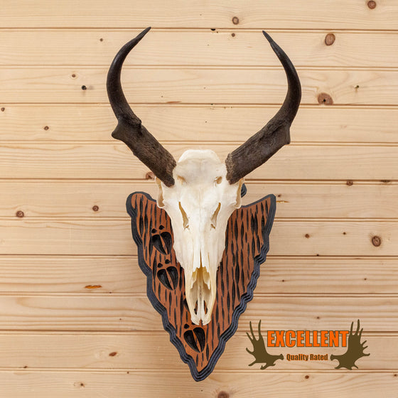 pronghorn antelope european mount skull horns for sale