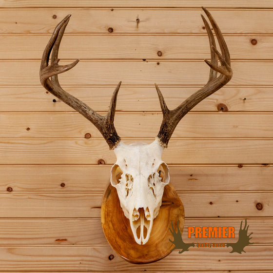 whitetail buck deer skull antlers european log mount for sale