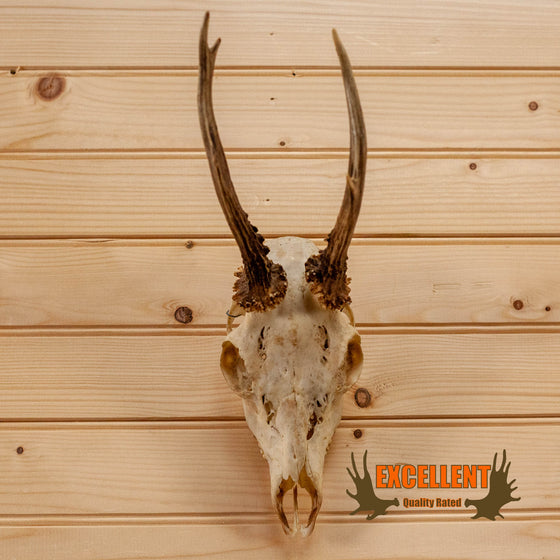 roe deer skull with antlers for sale
