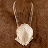 Excellent 4 Point Roe Deer Skull Cap with Antlers SW10747
