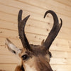 Excellent Pronghorn Antelope Taxidermy Shoulder Mount SW10756