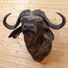 Excellent African Cape Buffalo Taxidermy Shoulder Mount SW10759